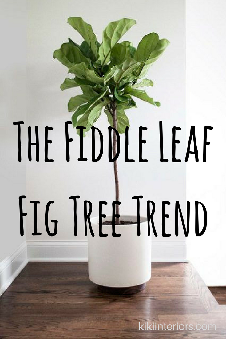 fiddle-leaf-fig-tree